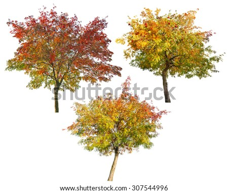 three rowan trees with berries isolated on white background - stock photo