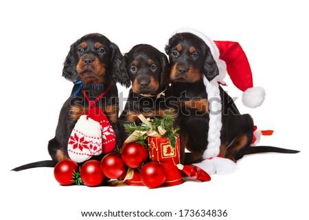 Three Setters puppies isolated on white, xmas, horizontal - stock photo