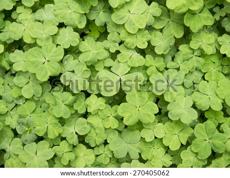 three shamrock leaves in a clover patch - stock photo
