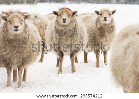 Three Sheep, standing together in snow covered farmland, eye contact. - stock photo