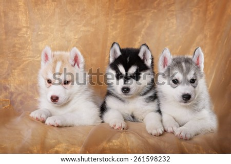 three siberian husky puppies on a gold background - stock photo