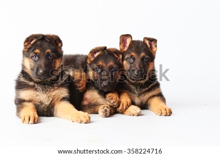 three small cute german shepherd puppies laying on white background and looking straight into the camera. - stock photo