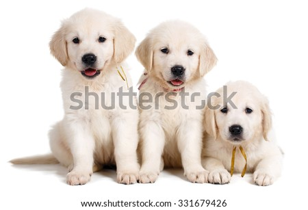 three small cute golden retriever puppy, on white background. Three Labrador puppies, 7 weeks old, in front of white background