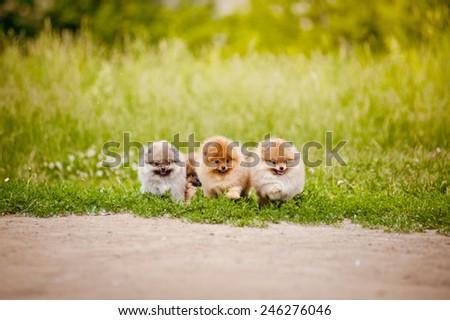 Three small Pomeranian puppies walking in the green grass - stock photo
