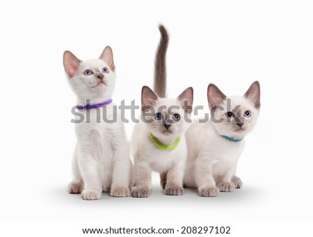 three small thai kittens on white background