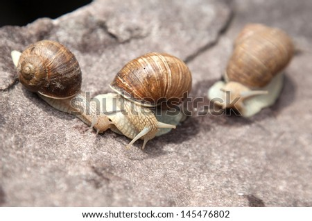 Three snail crawling on a stone in nature