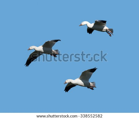 Three Snow Geese Flying  in Fall on Blue Sky - stock photo