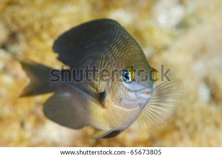 Three Spot Damselfish-Dascyllus trimaculatus, picture taken in shallow water on a reef in Broward County Florida. - stock photo