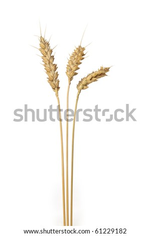 Three stands of wheat on white background