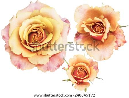 three step of rose - stock photo