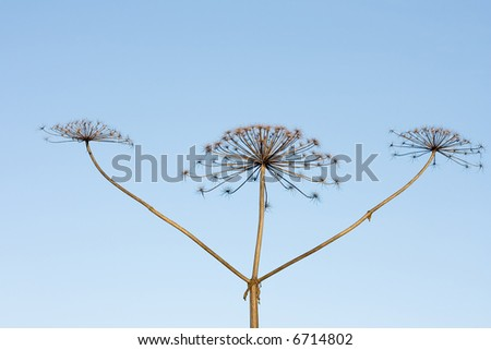 three sticks of dry hogweed with crowns on background of sky - stock photo