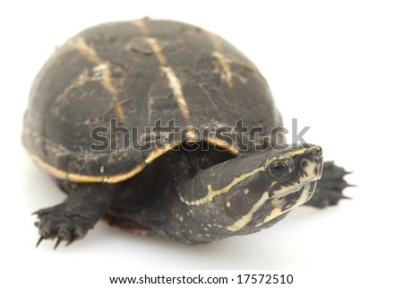 Three-Striped Mud Turtle (Kinosternon baurii) on white background.