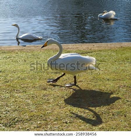 Three swans in park - stock photo