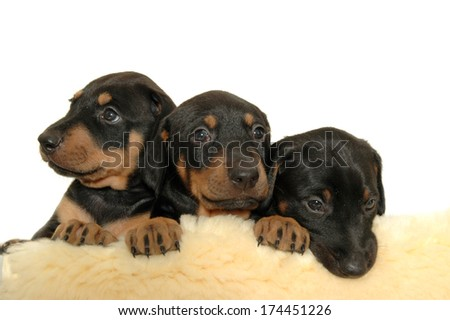 Three sweet puppies.