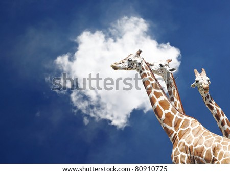 Three tall giraffe against a blue sky with a solitary cloud. The giraffe is scientifically known as Giraffa camelopardalis. - stock photo