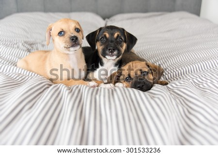 Three Terrier Mix Puppies Playing on Bed