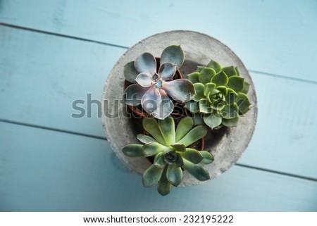 Three tiny succulents in concrete pot over old wooden background. Scandinavian style interior decoration - stock photo