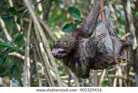 three toed sloth - stock photo