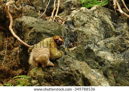 Three-toed Sloth, Bradypus variegatus in Manuel Antonio National Park in Costa Rica - stock photo