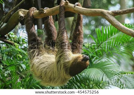 Three Toed Sloth Climbs - Stock image - stock photo