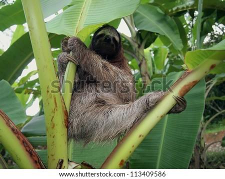 Three-toed sloth hanging from a banana tree, Costa Rica - stock photo