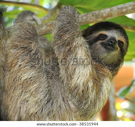 three toed sloth, male juvenile, cahuita, costa rica, latin america, exotic mammal in tropical jungle setting - stock photo