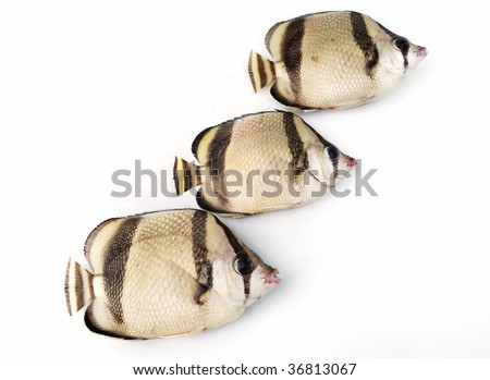 Three tropical fishes on white background - stock photo