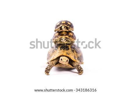Three turtle Walk Line on white background - stock photo