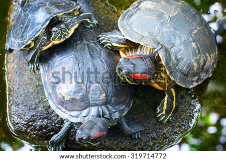 Three turtles on the stone in the pond. - stock photo