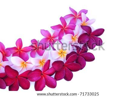 three types of Frangipani flowers arranged for design - stock photo
