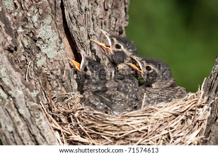 three unfledged young robins cry in hunger for their parents to feed them; birds in a nest with shallow focus next and green background. - stock photo