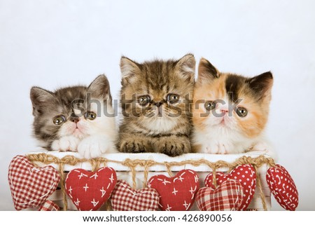 Three Valentine Exotic kittens sittings inside white basket decorated with red fabric hearts  - stock photo
