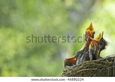 Three very hungry baby robins in a nest with their mouths open wide, shallow depth of field with lots of copy space, selective focus, horizontal - stock photo