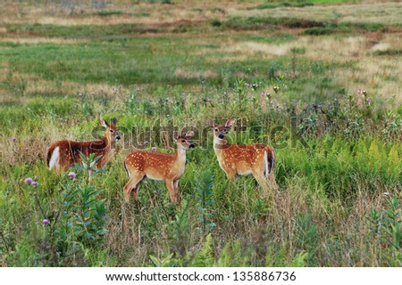 Three Virginia Whitetail Fawn in Summer Meadow - stock photo