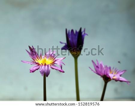Three water lilly  still life. - stock photo
