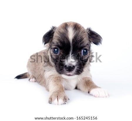 three weeks old cute Chihuahua baby lying down on white background  - stock photo