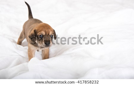 Three Weeks Old Terrier Mix Puppy on White Bed