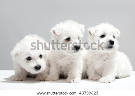 Three west highland white terrier puppies are sitting together - stock photo