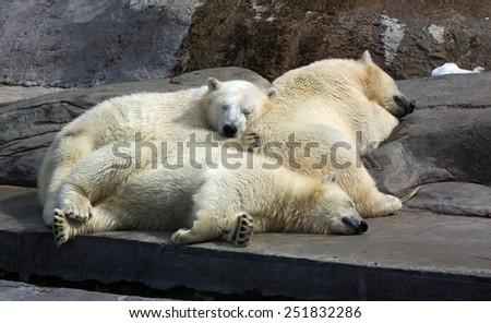 three white bears - stock photo