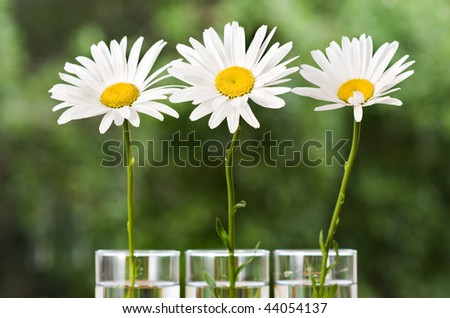 Three white daisies in vases in a garden - stock photo