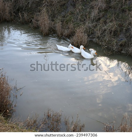 Three white ducks swim in the water on the farm  - stock photo