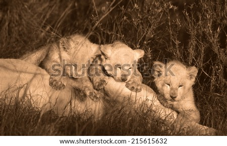 Three white lion cubs drinking from their mother in this sepia tone image. - stock photo