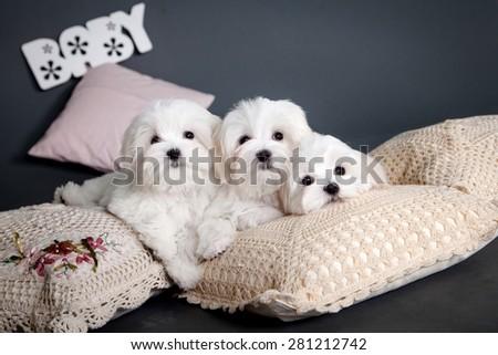 Three white Maltese puppy - stock photo