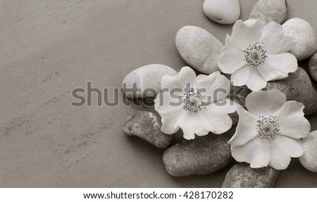 Three white pebbles on the flower wild rose on a gray background with the space for posting information. Spa stones treatment scene, zen like concepts. black and white photo. Flat lay, top view - stock photo