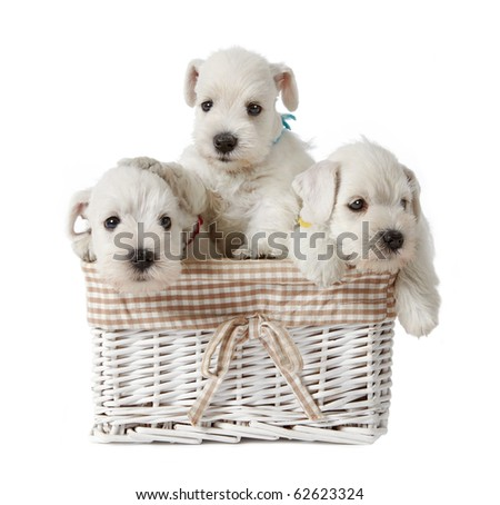 three white puppies - stock photo