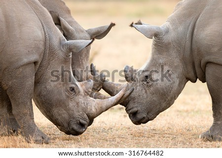 Three White Rhinoceros bulls (Ceratotherium Simum) locking horns and interacting in the Kruger National Park (South Africa) - stock photo