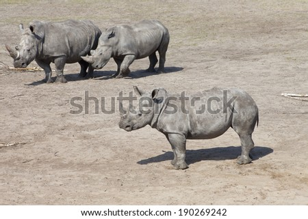 Three white rhinoceros or square-lipped rhinoceros (Ceratotherium simum) - stock photo