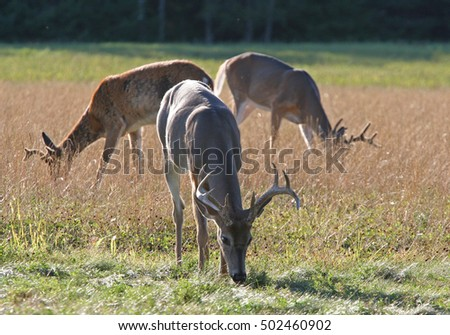Three whitetail deer bucks grazing in an open field