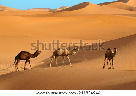 Three wild camels walking in the Sahara desert in Morocco
