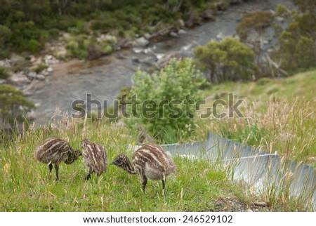 Three wild emu chicks near Snowy mountains highway - stock photo